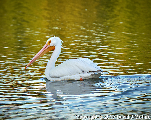 American White Pelican in the water at Fort De Soto Park. Pinellas County, Florida Image taken with a Fuji X-T2 camera and 100-400 mm OIS lens (ISO 200, 400 mm, f/5.6, 1/200 sec). (David J Mathre)