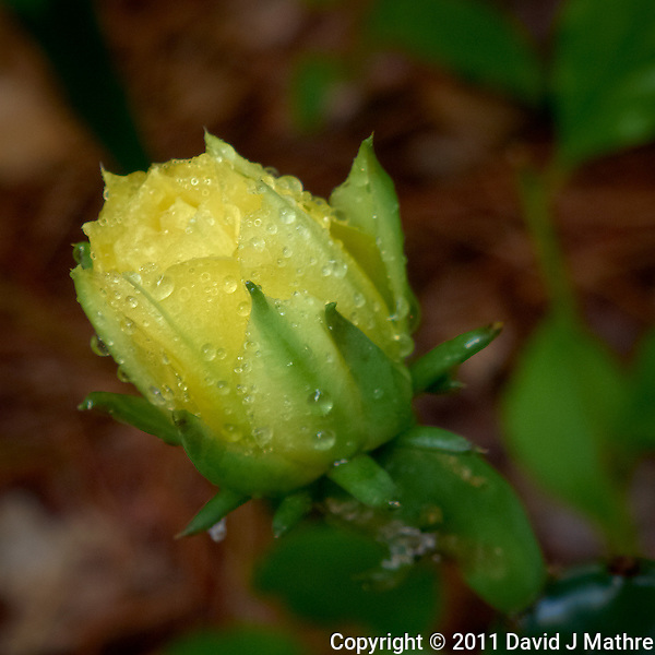 Yellow Prickly Pear Flower after Rain. Summer in New Jersey. Image taken with a Leica D-Lux 5 (ISO 80, 19.2 mm, f/3.3, 1/60 sec). Raw image processed with Capture One Pro, Focus Magic, and Photoshop CS5. (David J Mathre)