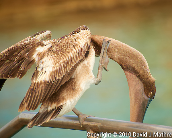 Brown Pelican With an Itch in Kralendijk Bonaire. Image taken with a Nikon D3s and 70-300 mm VR lens (ISO 200, 250 mm, f/5.6, 1/640 sec). (David J Mathre)