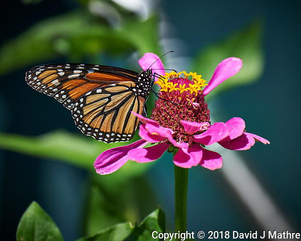 Monarch Butterfly on a Pink Zinnia Flower. Image taken with a Nikon Df camera and 80-400 mm VRII lens (ISO 140, 400 mm, f/5.6, 1/500 sec). (DAVID J MATHRE)