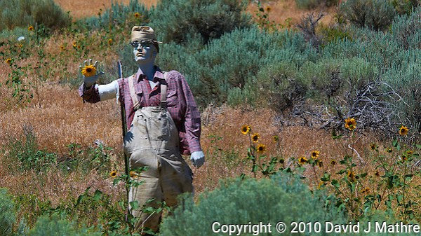 Zombie Sunflower Farmer. Image taken with a Nikon D300 and 80-400 mm VR lens (ISO 200, 220 mm, f/8, 1/1000 sec) (David J Mathre)