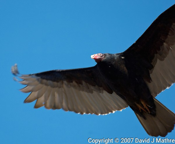 Turkey Vulture in Flight. Image taken with a Nikon D2xs and 80-400 mm Lens (ISO 100, 400 mm, f/5.6, 1/400 sec). Raw image processed using Capture One Pro 6, and Photoshop CS5. Motion blur reduced using Focus Magic. (David J Mathre)