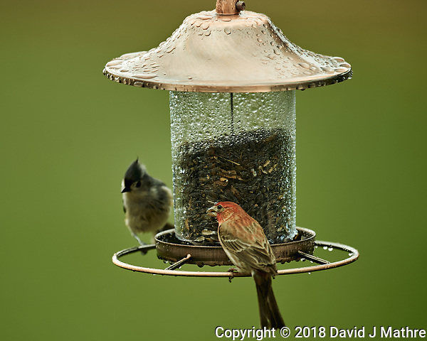 House Finch and Tufted Titmouse on a Wet Bird Feeder Image taken with a Nikon D4 camera and 600 mm f/4 VR lens (ISO 180, 600 mm, f/4, 1/200 sec). (David J Mathre)