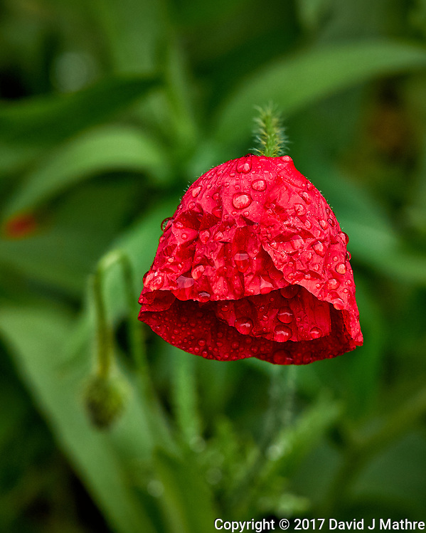 Red poppy flower drooping after the rain. Backyard spring nature in New Jersey. Image taken with a Leica T camera and 55-135 mm lens (ISO 100, 135 mm, f/5, 1/160 sec) (David J Mathre)