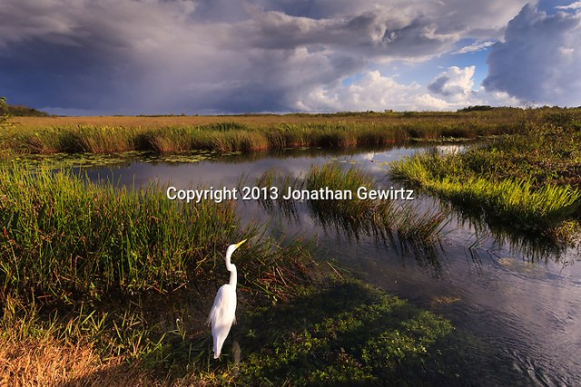 On a stormy day, a Great Egret (Ardea alba) hunts on the canal edge on the Anhinga Trail in Everglades National Park, Florida. (Jonathan Gewirtz   jonathan@gewirtz.net)