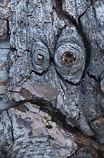 Face in the Bark, Mt. Ashland, Rogue River–Siskiyou National Forest, Oregon, US (Roddy Scheer)