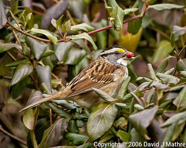 White-throated Sparrow with a red berry. Backyard winter nature in New Jersey. Image taken with a Nikon D2xs camera and 80-400 mm VR lens (ISO 400, 400 mm, f/6, 1/160 sec) (David J Mathre)