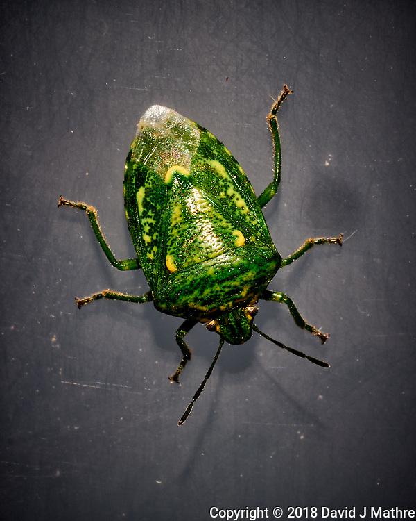 Green Stink Bug. Image taken with a Fuji X-T1 camera and 60 mm f/2.4 macro lens (ISO 200, 60 mm, f/16, 1/60 sec) + flash. (David J Mathre)