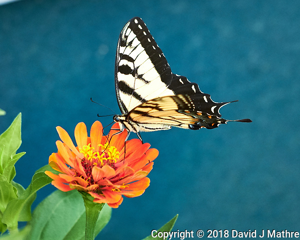 Yellow Tiger Swallowtail Butterfly on a Zinnia Flower. Image taken with a Fuji X-H1 camera and 80 mm f/2.8 macro lens (DAVID J MATHRE)