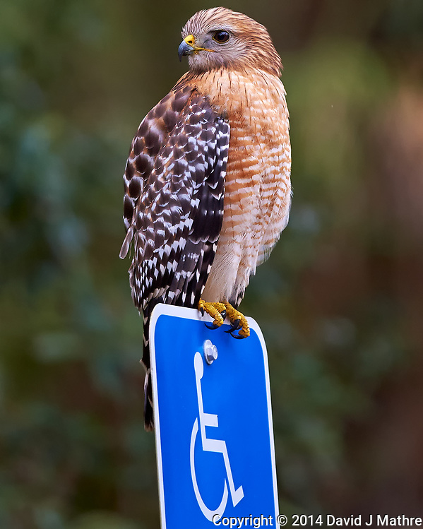 Hawk Guarding the Handicapped Parking Space at a Park in St. Petersburg, Florida. Image taken with a Nikon Df camera and 300 mm f/4 lens (ISO 2200, 300 mm, f/4, 1/1250 sec). (David J Mathre)