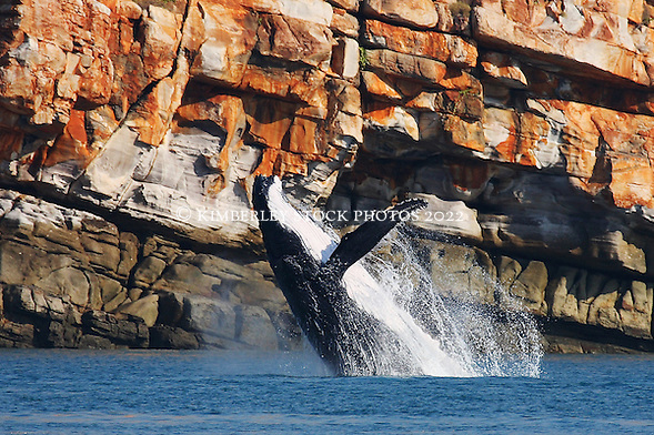 A female humpback whale breaches at Lulim Island, Camden Sound on the Kimberley coast. (Annabelle Sandes/© Annabelle Sandes | Kimberley Media 2010)