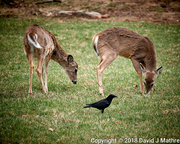 Scruffy Deer and Black Crow. Image taken with a Nikon D5 camera and 80-400 mm VRII lens (ISO 560, 400 mm, f/5.6, 1/400 sec). (David J Mathre)