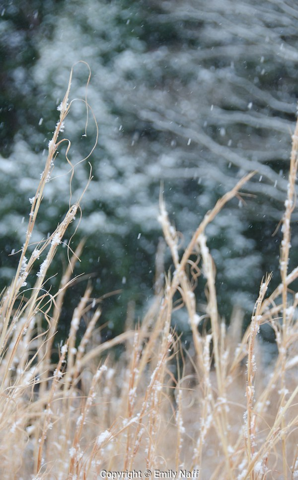 Zooming in for a tight shot allowed for a simple composition and contrast of the switchgrass and snow against the dark background. (Emily Naff)