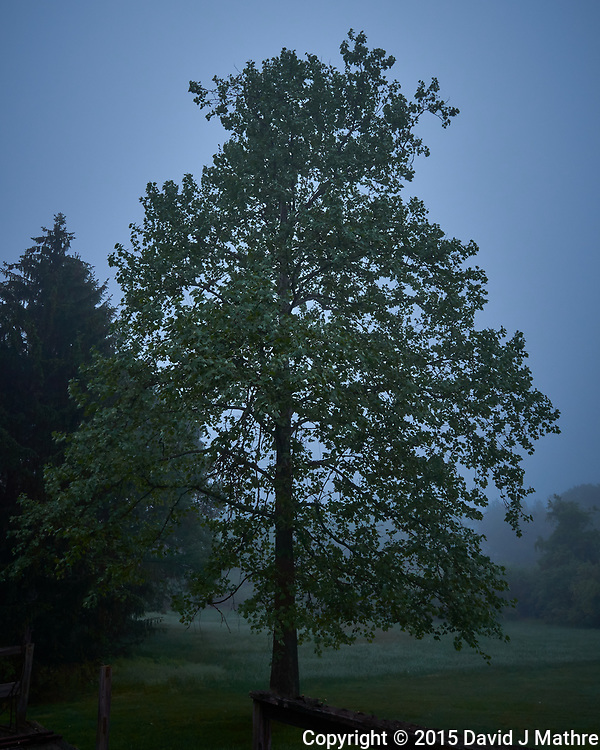 Sycamore tree on a foggy morning. Backyard Spring Nature in New Jersey. Image taken with a Leica T camera and 11-23 mm lens (ISO 200, 11 mm, f/11, 1/2 sec). (David J Mathre)