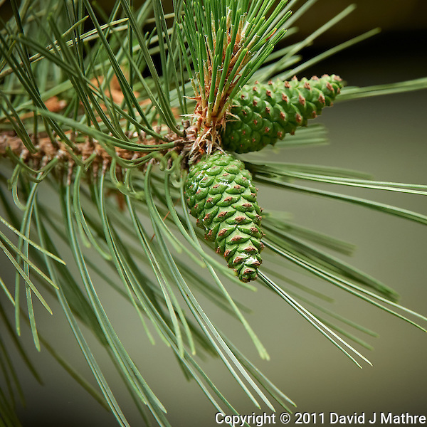 Early Pine Cones, Spring Backyard Nature in New Jersey. Image taken with a Nikon D3s and 200-400 f/4 lens (ISO 3200, 330 mm, f/5.6 1/400 sec). Raw image processed with Capture One Pro 6, Focus Magic, Nik Define 2, and Adobe Photoshop CS5 (David J Mathre)