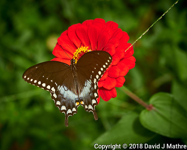 Female Black Swallowtail Butterfly. Image taken with a Fuji X-H1 camera and 80 mm f/2.8 macro lens (ISO 200, 80 mm, f/4, 1/950 sec). (DAVID J MATHRE)