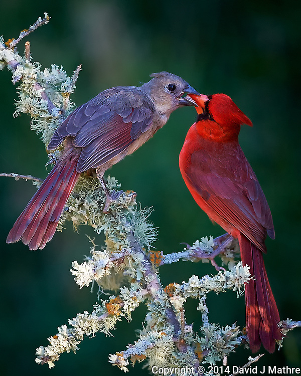 Male Northern Cardinal Feeding Breakfast to a Young Cardinal at Dos Vandas Ranch in Southern Texas. Image taken with a Nikon D4 camera and 500 mm f/4 VR lens (ISO 1600, 500 mm, f/5.6, 1/2000 sec. (David J Mathre)