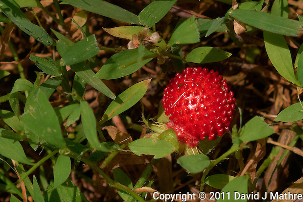 Wild Strawberry. Late Spring in New Jersey. Image taken with a Leica D-Lux 5 camera (ISO 80, 19.2 mm, f/3.5, 1/400 sec). Raw image processed with Capture One Pro, Focus Magic, and Photoshop CS5. (David J Mathre)