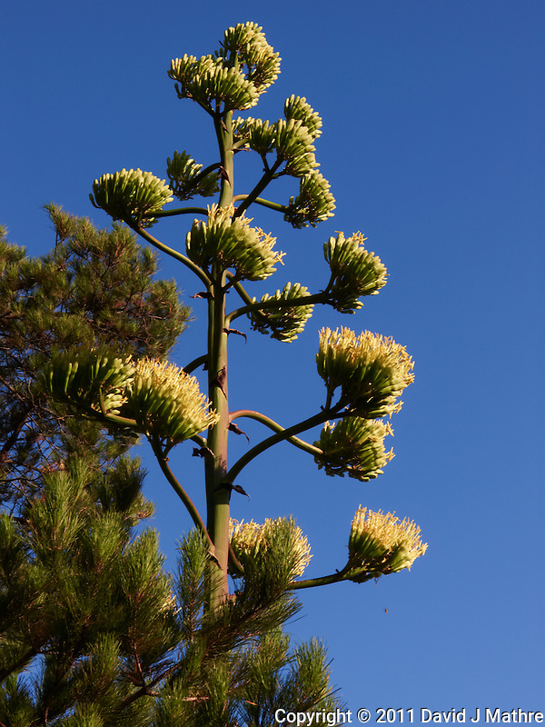 Yucca in Bloom. San Mateo CA. Image taken with a Leica V-Lux 5 camera (ISO 80, 19.2 mm, f/8, 1/1250 sec). (David J Mathre)