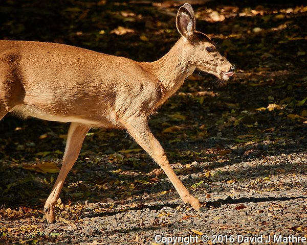 Doe hunting for acorns. Autumn Nature in New Jersey. Image taken with a Nikon 1 V3 camera and 70-300 mm VR lens (ISO 200, 235 mm, f/5.6, 1/320 sec). (David J Mathre)