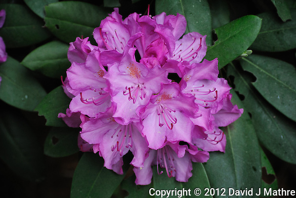Cluster of Rhododendron Flowers. Image taken with a Nikon 1 V1 and 30-100 mm VR lens (ISO 400, 41.2 mm, f/4, 1/60 sec). Raw image processed with Lightroom 4 (Adobe Camera Raw 7). (David J Mathre)