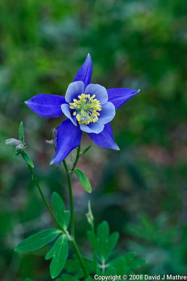 Blue Columbine Wildflower with a Small Spider at Lilly Lake in Rocky Mountain National Park. Image taken with a Nikon D3 and 105 mm f/2.8 macro lens (ISO 800, 105 mm, f/11, 1/60 sec) with fill flash. (David J Mathre)