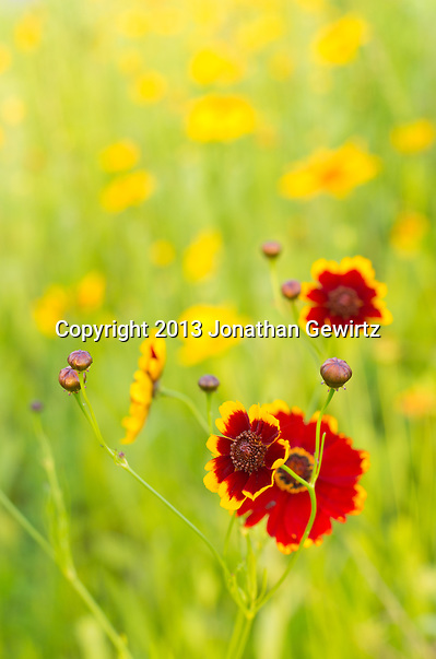 Red and yellow Zinnia (Asteraceae) flowers in a garden. (Jonathan.Gewirtz@gmail.com)