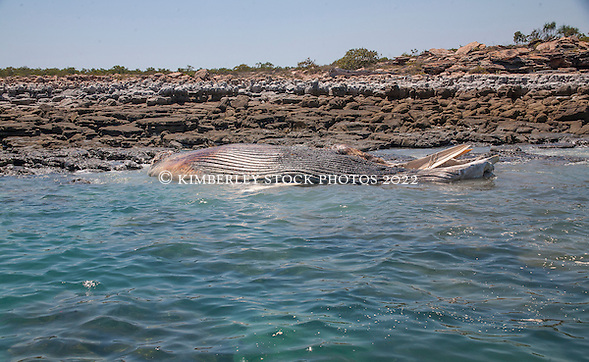 A whale carcass lies off the rocks to the south of Hall Point in Camden Sound. (Annabelle Sandes/© Annabelle Sandes | Kimberley Media 2012)