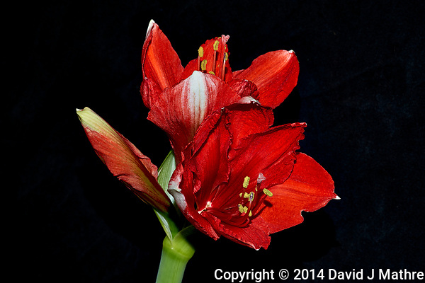Red Amaryllis Bloom Winter Indoor Color. Image taken with a Fuji X-T1 camera and 60 mm f/2.4 lens (ISO 200, 60 mm, f/16, 1/60 sec) using the EF-X8 flash. Part of multi-day time-lapsed flower blooming project. (David J Mathre)