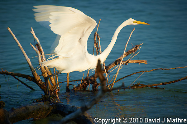 Great Egret Taking Off at Ft. Desoto Park in St. Petersburg, Florida. Image taken with a Nikon D3s and 70-300 mm VR lens (ISO 200, 300 mm, f/5.6, 1/1000 sec). (David J Mathre)