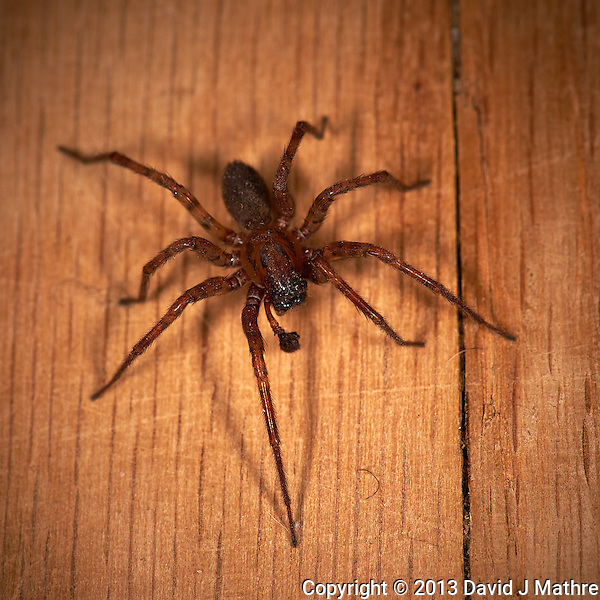 Indoor Spider. Image taken with a Nikon D4 and 105 mm f/2.8 VR macro lens (ISO 100, 105 mm, f/11, 1/60 sec) and ring flash. (David J Mathre)