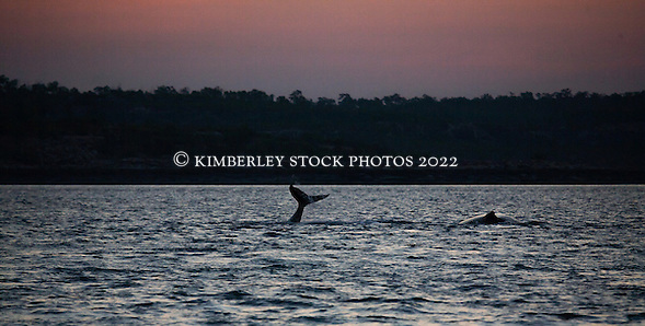 A humpback whale calf waves its tail in the main channel on the western side of Augustus Island. (Annabelle Sandes/© Annabelle Sandes | Kimberley Media 2012)