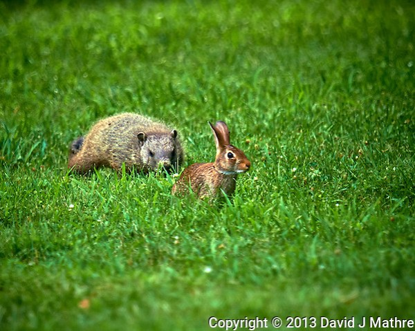 Willie the Groundhog vs. Harvey the Rabbit. Backyard Summer Nature in New Jersey. Image taken with a Nikon D800 and 600 mm f/4 VR lens (ISO 100, 600 mm, f/4, 1/500 sec). (David J Mathre)