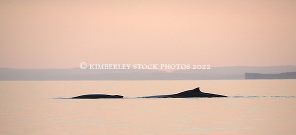 A female humpback whale cow and calf in Camden Sound, early morning. (Annabelle Sandes/© Annabelle Sandes | Kimberley Media 2010)