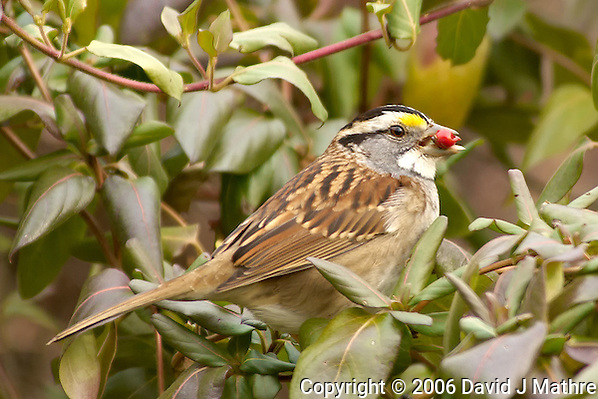 White-throated Sparrow with Red Berry. Image taken with a Nikon D2xs and 80-400 mm VR lens (ISO 400, 400 mm, f/6, 1/160 sec). (David J Mathre)