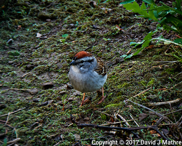 Chipping sparrow outside my window. Backyard spring nature in New Jersey. Image taken with a Fuji X-T2 camera and 100-400 mm OIS lens (ISO 200, 400 mm, f/11, 1/30 sec). (© 2017 David J Mathre)