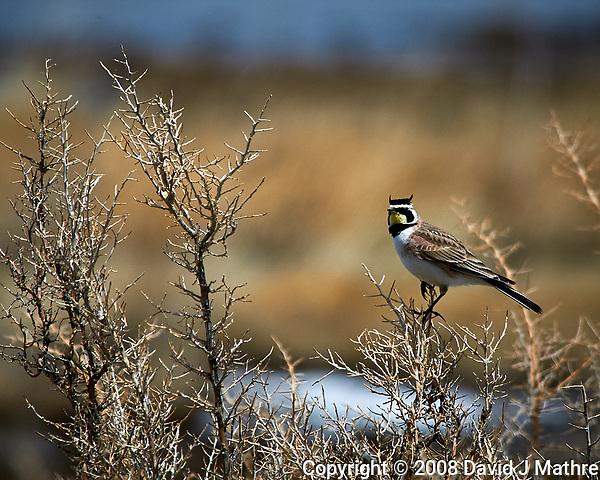 Horned Lark in the wetlands of the Arapaho National Wildlife Refuge. Image taken with a Nikon D300 camera and 80-400 mm VR lens (ISO 200, 400 mm, f/8, 1/1250 sec). (David J Mathre)