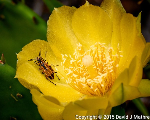 Amorous Fireflies in Daylight on a Yellow Prickly Pear Flower. Image taken with a Nikon 1 V3 camera and 70-300 mm VR lens. (David J Mathre)