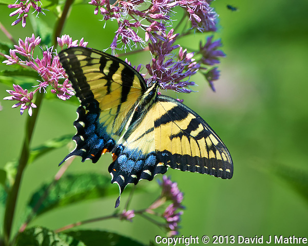 Eastern Tiger Swallowtail Butterfly on a Joe Pye Weed Bloom at the Sourland Mountain Preserve in New Jersey. Image taken with a Nikon D800 camera and 500 mm f/4 VR lens (ISO 250, 500 mm, f/5, 1/600 sec). Lens mounted on a monopod. (David J Mathre)