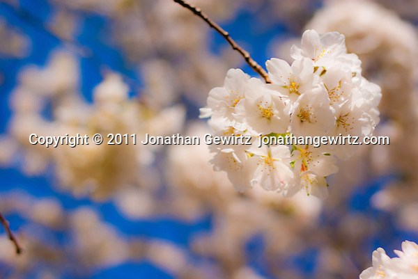 White cherry blossom flowers on a cherry tree branch. (© Jonathan Gewirtz jonathan@gewirtz.net)