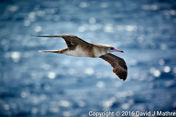 Brown Booby flying beside the MV World Odyssey as we crossed the Pacific Ocean. Image taken with a Nikon 1 V3 camera and 70-300 mm VR lens (ISO 160, 300 mm, f/5.6, 1/500 sec). (David J Mathre)