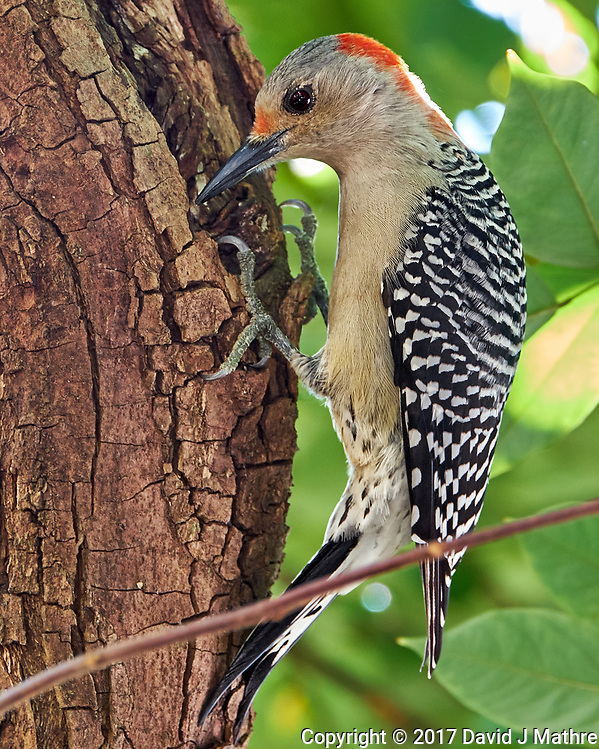 Red-bellied Woodpecker in a Carambola tree. Backyard Winter Nature in Florida Image taken with a Fuji X-T2 camera and 100-400 mm OIS telephoto zoom lens (ISO 1000, 400 mm, f/8, 1/30 sec). (David J Mathre)