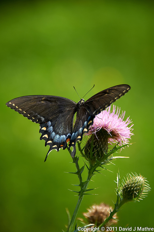 Black Swallowtail Butterfly on Thistle Bloom. Sourland Mountain Preserve, Summer Nature in New Jersey. Image taken with a Nikon D700 and 28-300 mm VR lens (ISO 200, 300 mm, f/5.6, 1/500 sec). Raw image processed with Capture One Pro 6, Nik Define, and Photoshop CS5. (David J Mathre)
