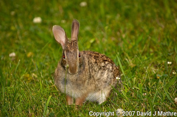 Rabbit with a red-eye in the grass and clover. Late-spring backyard nature in New Jersey. Image taken with a Nikon D2xs camera and 70-200 mm f/2.8 lens + 1.4 TC-E II teleconverter and SB-800 flash (ISO 100, 280 mm, f/4, 1/60 sec) (David J Mathre)