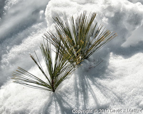 Winter part II. Pine needles peaking up from the snow. Image taken with a Nikon D300 camera and 18-200 mm VR lens (ISO 200, 200 mm, f/9, 1/800 sec). (David J Mathre)