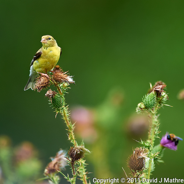 American Goldfinch on a Thistle. Sourland Mountain Preserve, Summer Nature in New Jersey. Image taken with a Nikon D3s and 300 mm f/2.8 VR lens + TC-E III 20 teleconverter (ISO 250, 600 mm, f/5.6, 1/500 sec). Raw image processed with Capture One Pro 6, Nik Define, and Photoshop CS5. (David J Mathre)