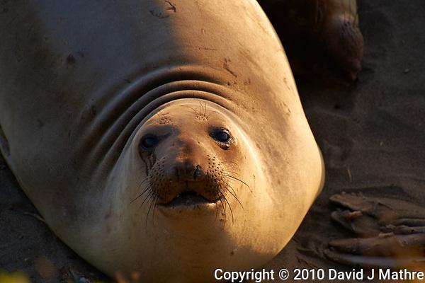 Elephant Seal at Piedras Blancas Beach, Central California Coast. Image taken with a Nikon D3x and 70-300 mm VR lens (ISO 320, 300 mm, f/8, 1/250 sec). (David J Mathre)