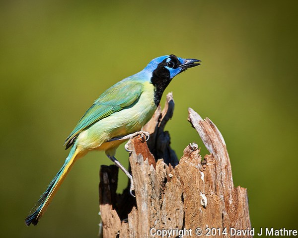 Green Jay at Dos Vandas Ranch in Southern Texas. Image taken with a Nikon D3x Camera and 600 mm f/4 VR lens (ISO 180, 600 mm, f/4, 1/1250 sec). (David J Mathre)