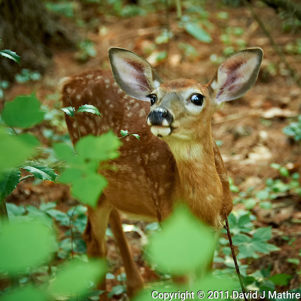 Inquisitive Fawn. Backyard Nature in my Backyard -- Summer in New Jersey. Image taken with a Nikon D700 and 28-300 mm lens (ISO 1400, 150 mm, f/5.6, 1/60 sec). Raw image processed with Capture One Pro 6, Nik Define 2, and Photoshop CS5. (David J Mathre)