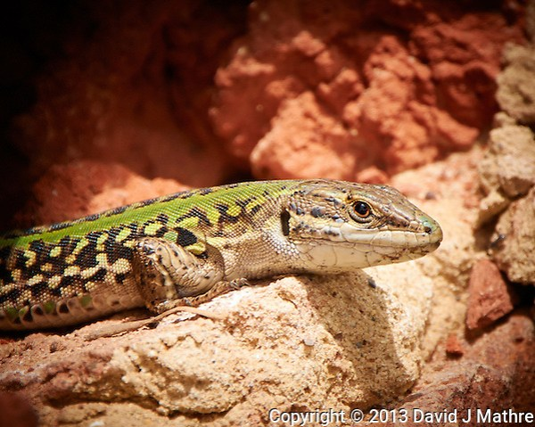 Lizard Sunning in Tuscany, Italy. Image taken with a Nikon 1 V2 camera and 10-100 mm VR lens (ISO 160, 100 mm, f/5.6, 1/500 sec). (David J Mathre)